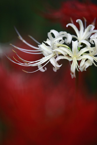 spider lily | by ha*na