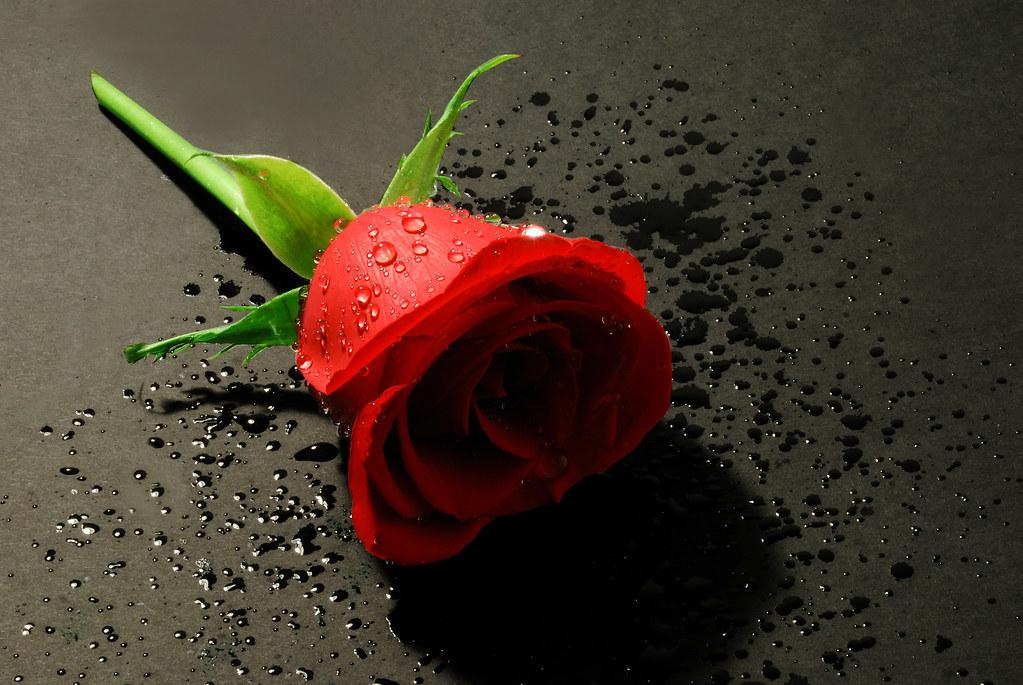 romantic red rose  dreamy  romantic red rose taken in dece…  flickr, Beautiful flower