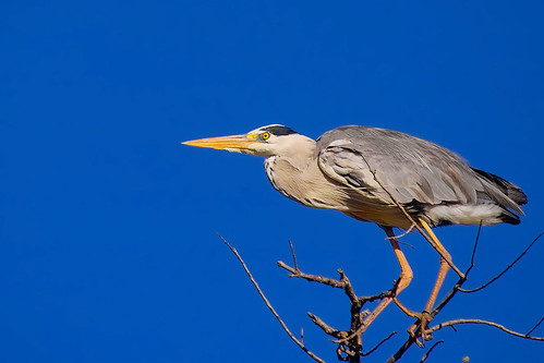 Grey Heron (Ardea cinerea) | by Arno Meintjes Wildlife