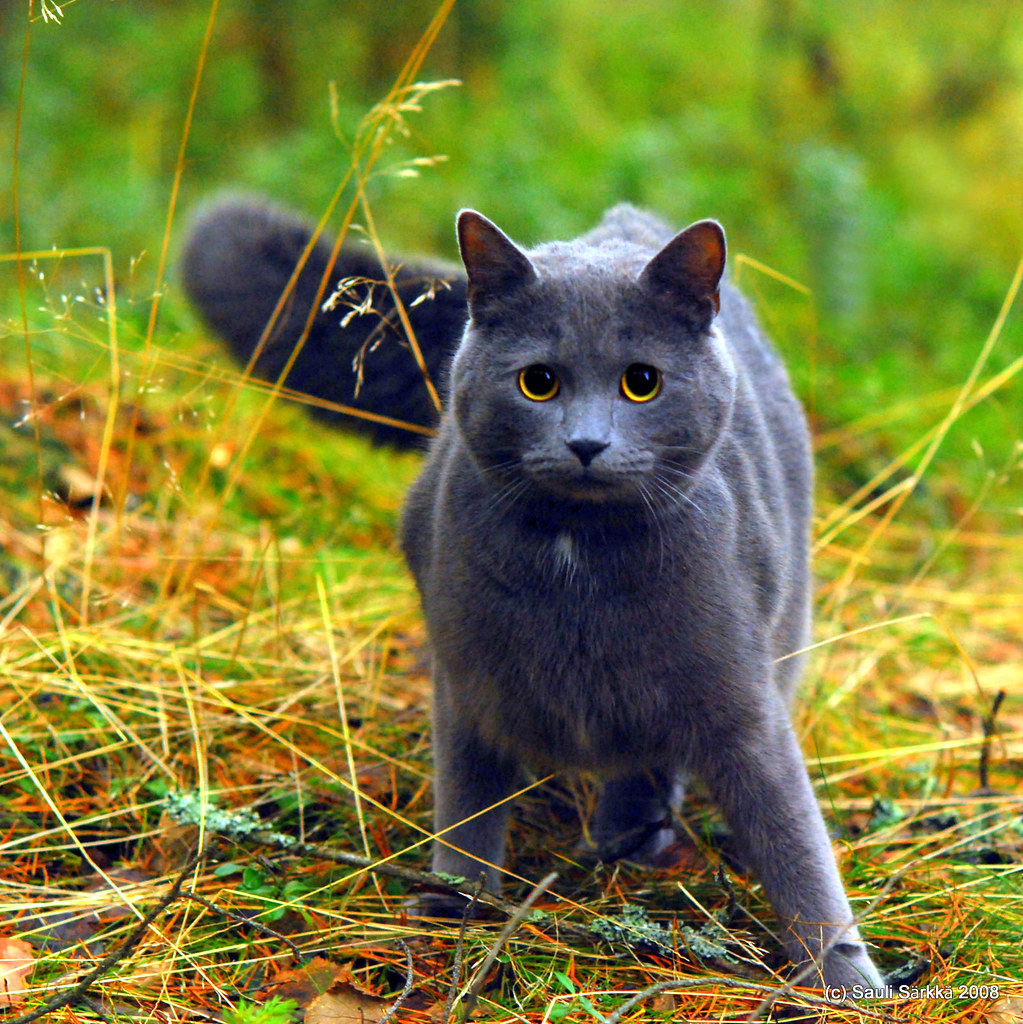 Cat Blue gray cat in the woods For some reason thi…