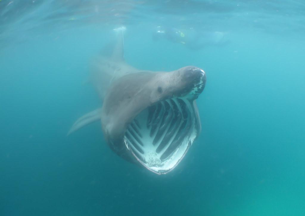 Image result for basking sharks