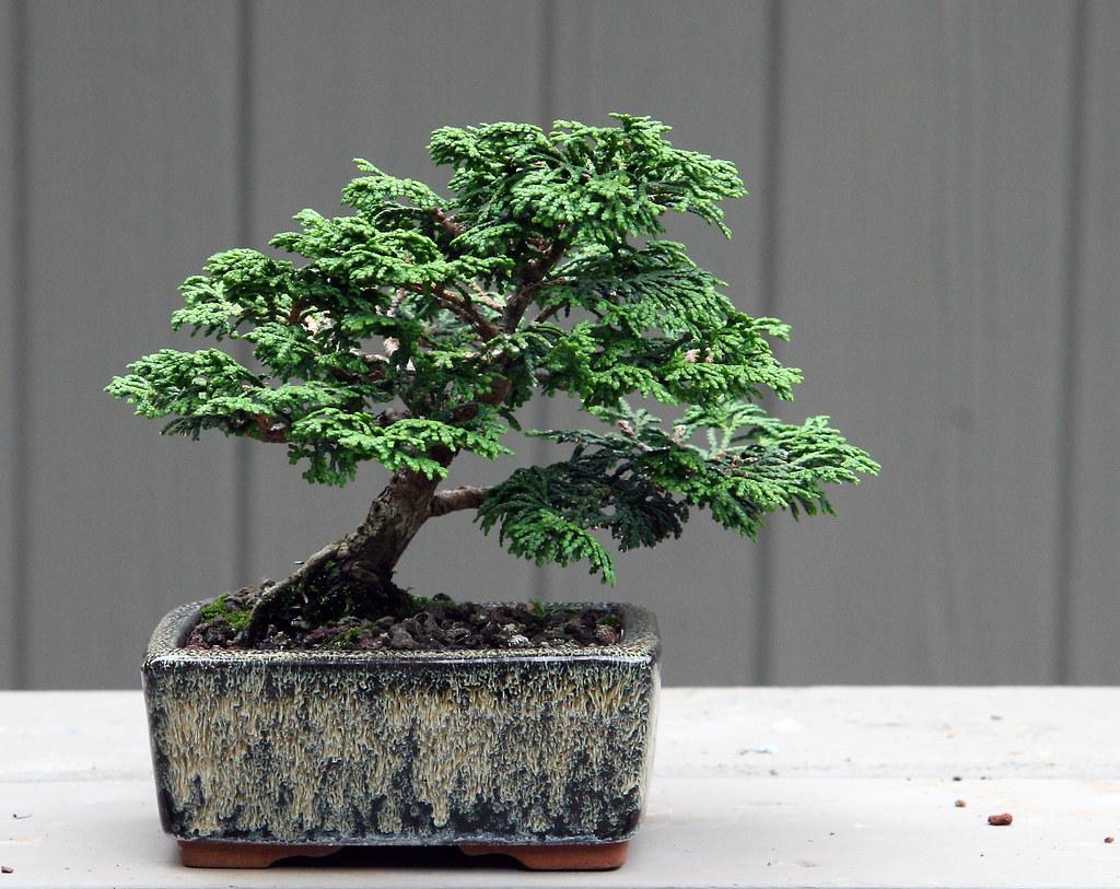Hinoki Shohin 6 27 08 Before I Created This Little Bonsai Flickr Wiring Cypress By Openeye