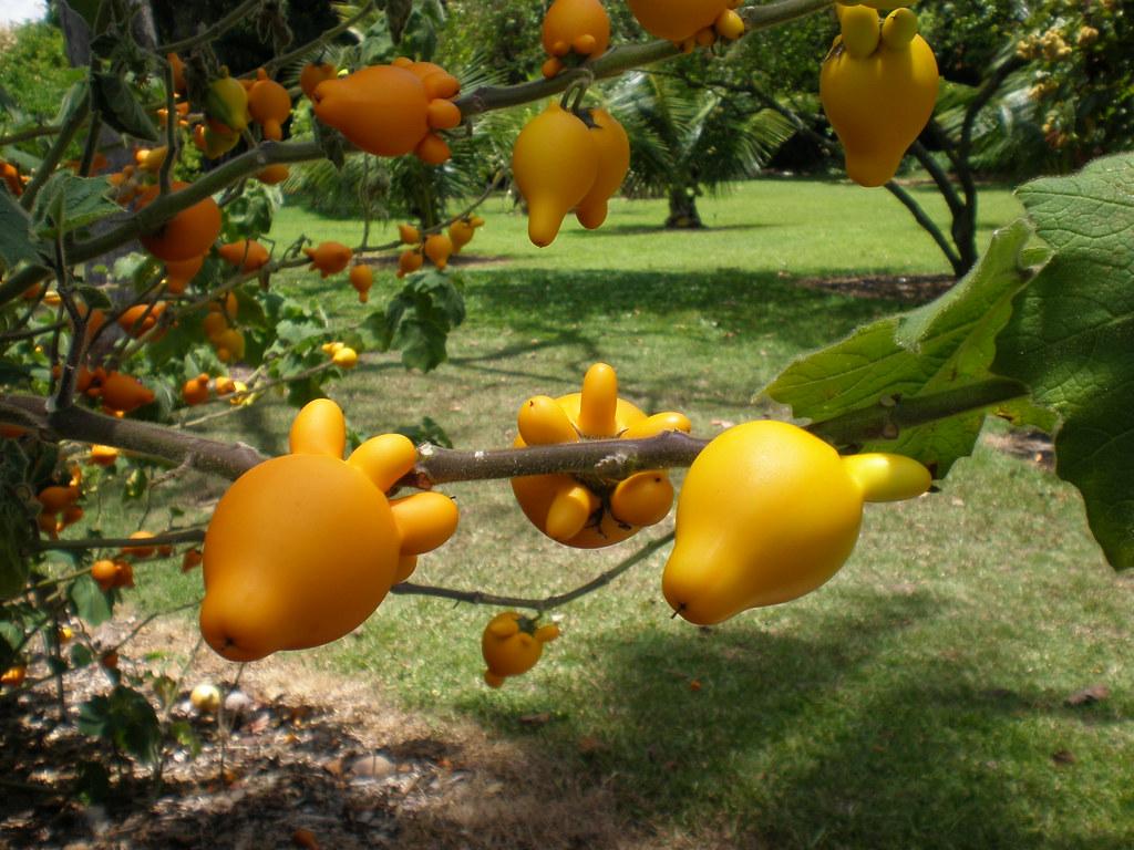 ... Solanum Mammosum, Nipple Fruit, Foster Botanical Garden, Honolulu | By  Joel Abroad