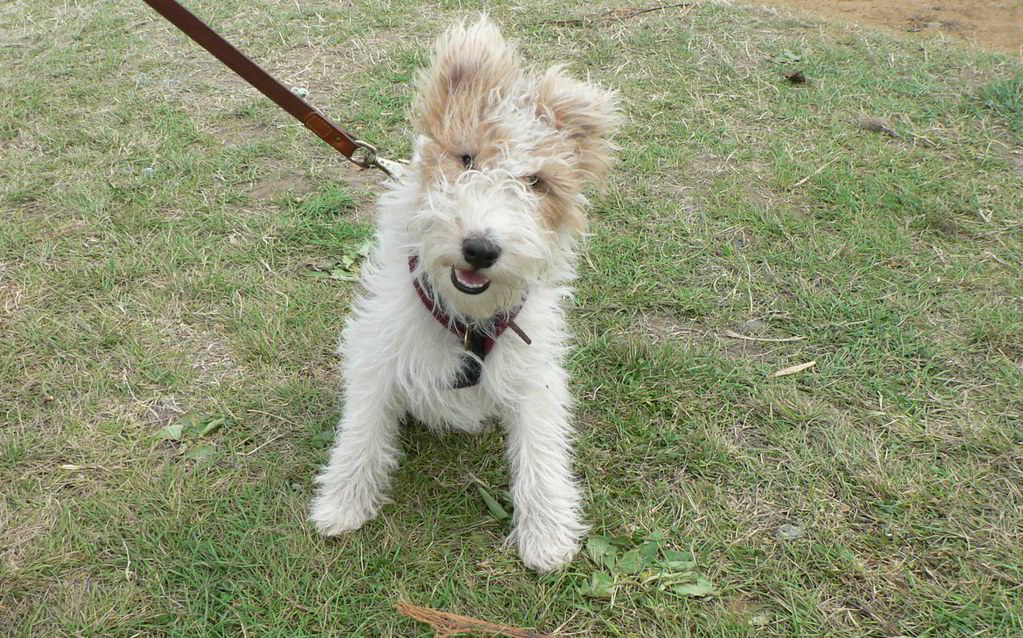 Wire-Haired Fox Terrier | Ludo (from Latin ludo, "|1023|638|?|6615dc7574990aa6a75ab9695f041c71|False|UNLIKELY|0.33316075801849365
