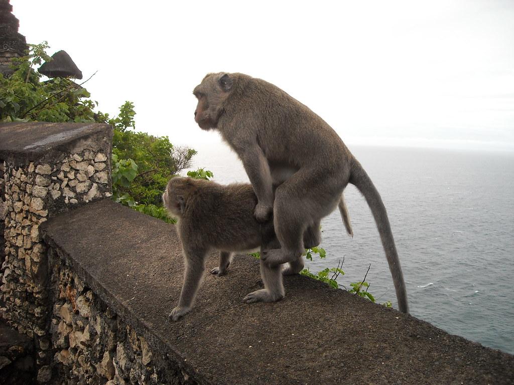 Hasil gambar untuk monyet kawin