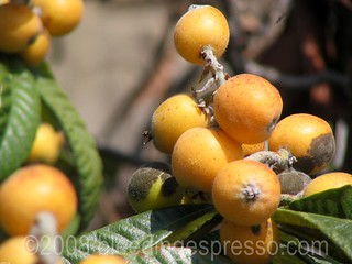 Nespole ripening on the tree | by Michelle Fabio