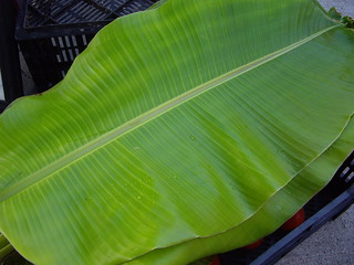 Banana Leaf | by swampkitty