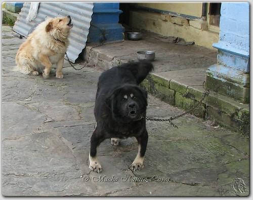 Bhutia Sheepdog Grrrrrr Pauri Uttarakhand Uttarancha