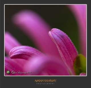PINK | by ADHAM HAWRAMY