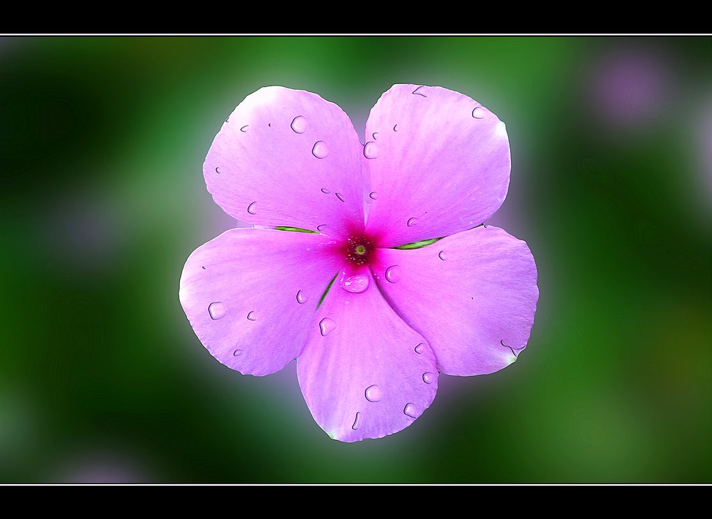 A dewy pink periwinkle noticed this amzing flower in the p flickr a dewy pink periwinkle by venkat yarabati mightylinksfo