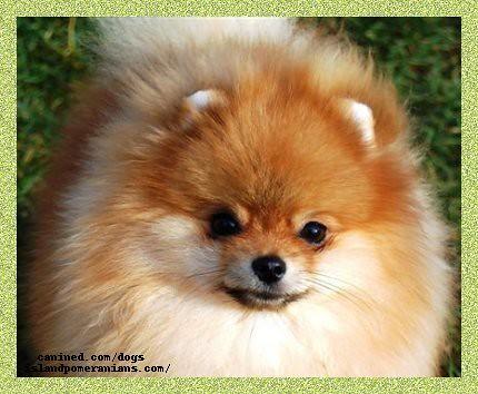 Island Pomeranian Dog Breeder Picture 15 Island Pomeranian Flickr