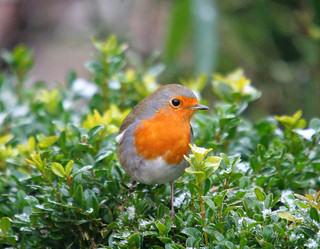 Robin in the box-hedge | by tijmenkroes