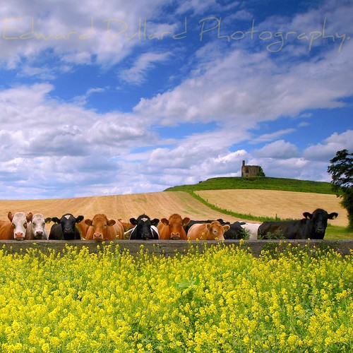 SUMMERTIME MOOS. ( NO HDR ) | by Edward Dullard Photography. Kilkenny, Ireland.