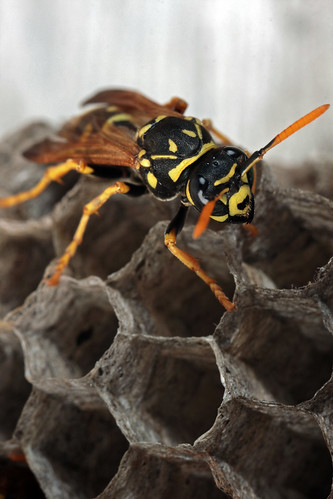 how to get rid of european paper wasp