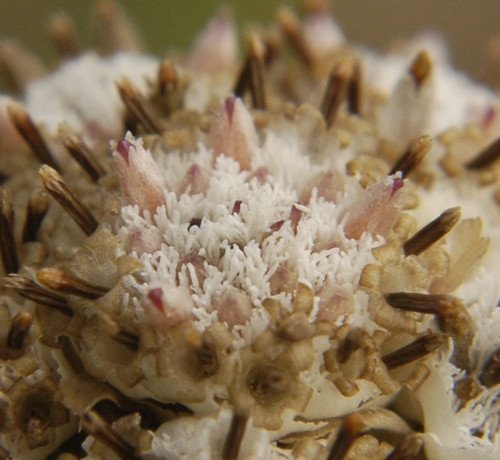 Antennaria neglecta CAT'S PAW