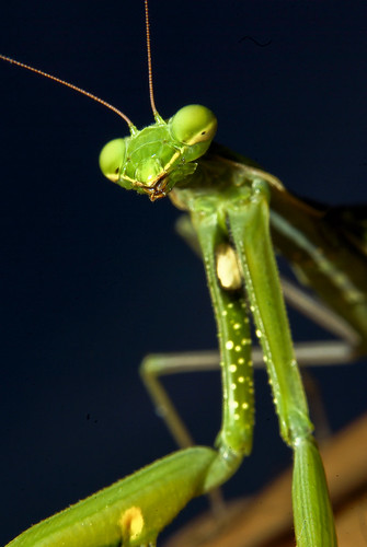 mantis | by Roberto Tuset