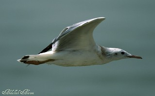 Gull | by irib