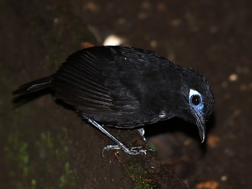 Immaculate Antbird (Myrmeciza immaculata) | by David Cook Wildlife Photography