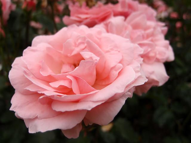 Rose Queen Elizabeth バラ クイーン エリザベス