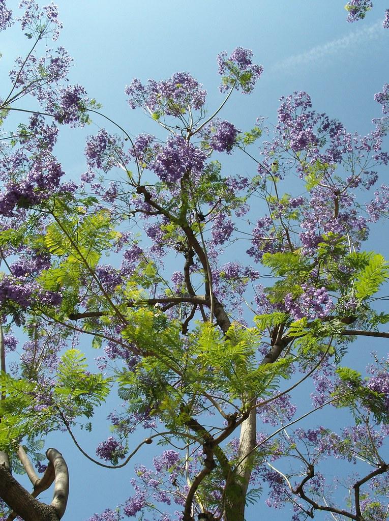 Purple flowering tree there were a lot of trees around the flickr purple flowering tree by dave bugden mightylinksfo