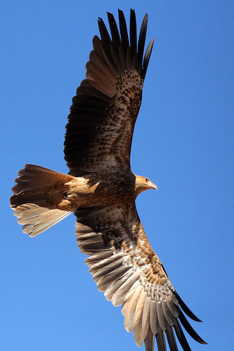 Whistling Kite in flight | by dmmaus