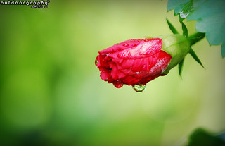 Outdoorgraphy™: Hibiscus after Rain | by Sir Mart Outdoorgraphy™