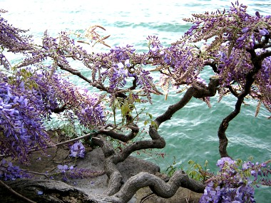 ... I Fiori Di Glicine Sul Lago Di Como Dintorni Bed And Breakfast Contrada  Lunga Abbadia Lariana