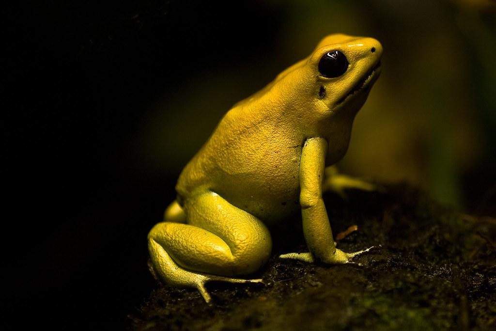 golden poison frog best viewed large on black phyllobates flickr