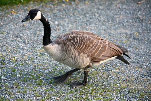 Canada Goose | by scazon