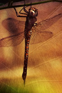 dragonfly | by Moon over Belgium
