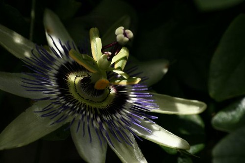 Passiflora | by rosewoodoil