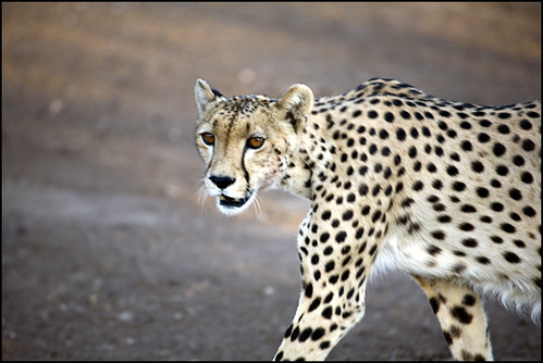 Cheetah | by laheringer
