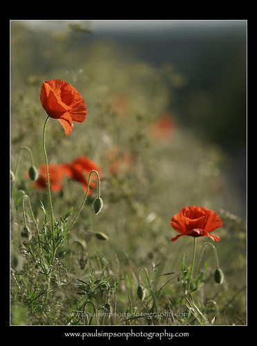 Red Poppies | by Paul Simpson Photography