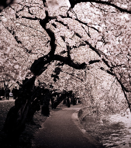 Blossom Canopy | by bossa07