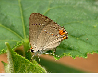my Gray Hairstreak | by thahawk