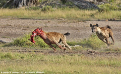 Spotted Hyena chase in Amboseli Kenya IMG_6491 | by WildImages