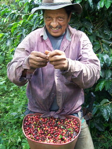 Picking Coffee 2 | by The Hungry Cyclist