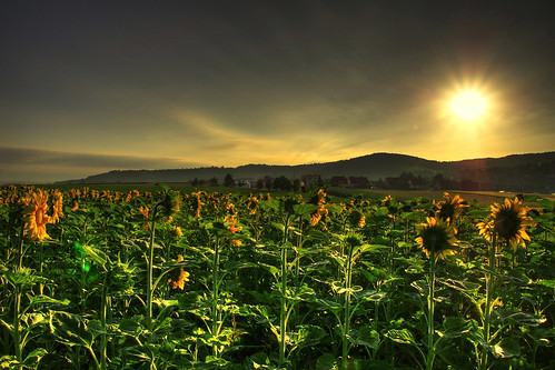 sunny sunflowers [HDR] | by traumlichtfabrik
