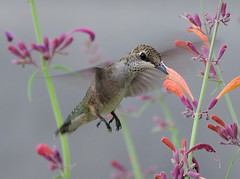 Hummingbird - Agastache 'Licorice Mint' | by Darin Ziegler