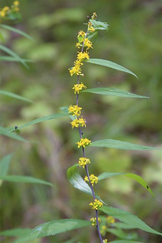 Blue-stemmed Goldenrod | by milesizz