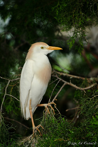 Cattle Egret | by Ed Rosack