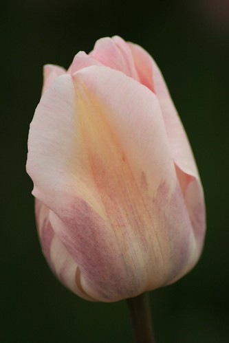 A single tulip amongst thousands | by annej70