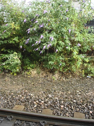 Trackside Buddleia | by James's GW Blog