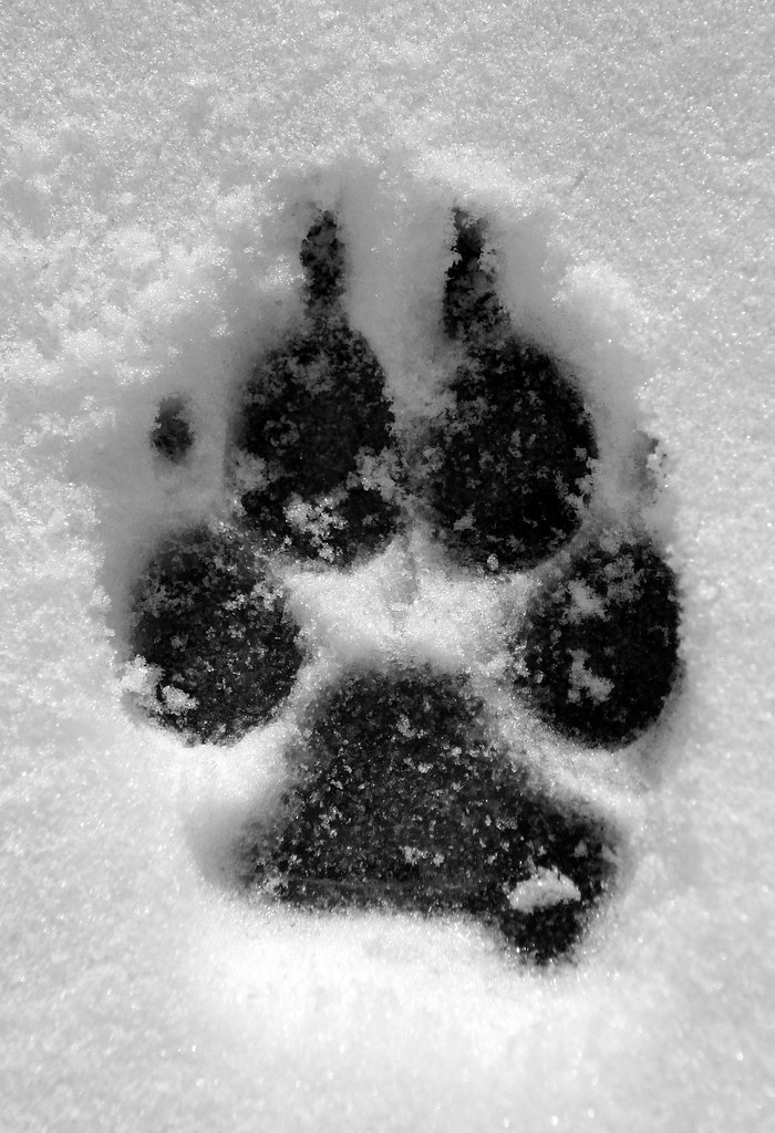 big foot | my weimaraner's giant paw print in the snow  the