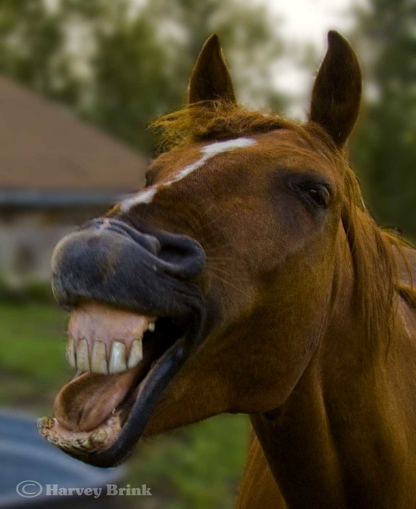 Uncategorized Smiling Horse smiling horse occasionally for reasons unknown to me flickr by harvey brink canadian visuals
