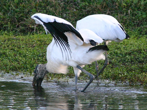 Wood Stork Wing Shading 20081221 | by Kenneth Cole Schneider