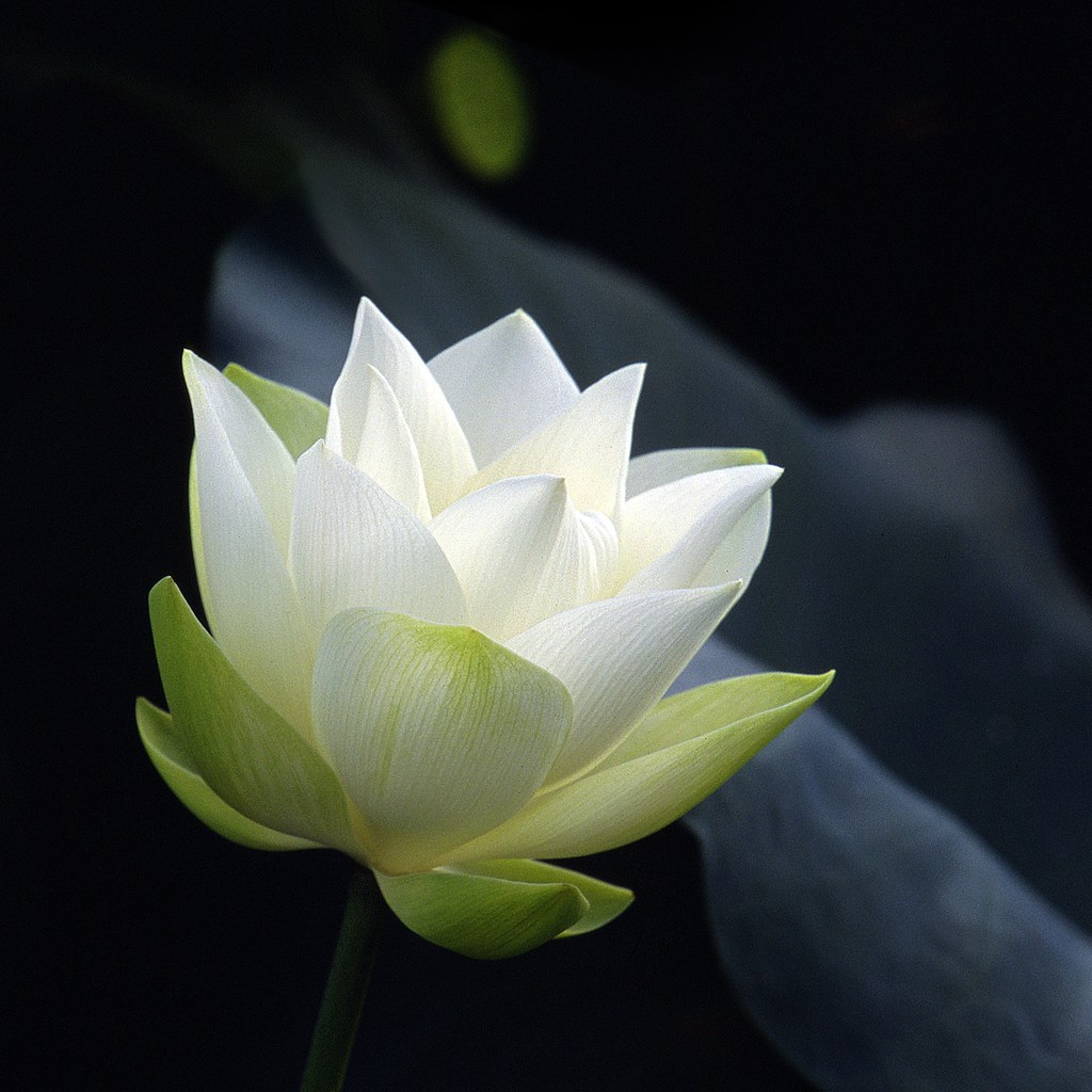 white lotusin early stage of blossom  andy leung  flickr, Natural flower
