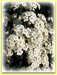 Fiori Bianchi A Cascata.05 05 08 Cascata Bianca Fiori Del Mio Giardino Flickr