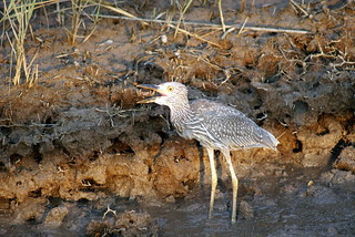 Juvenile Yellow-Crowned Night-Heron Eating A Fiddler Crab | by curtzsi