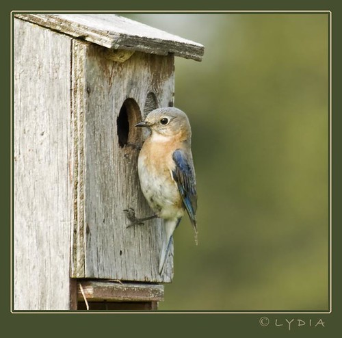 The bluebird of happiness...{} | by ImageInnovation Photography